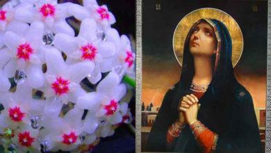 Photo of Lacrima Maicii Domnului, floarea care produce mir. De ce s-o ai în casă și grădină